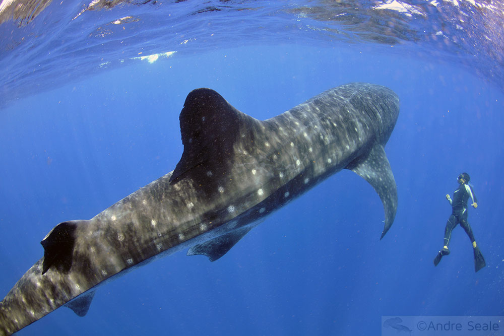 Mergulho com o tubarão-baleia no México