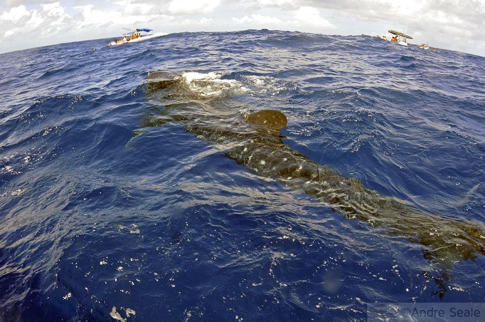 Passeio para nadar com o tubarão-baleia - Isla Mujeres