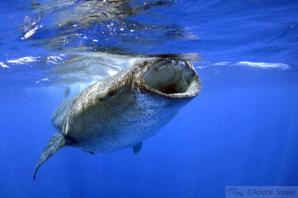 Passeio para ver o Tubarão-baleia se alimentando - Isla Mujeres - México