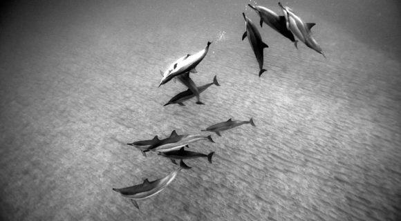 Sexta Sub: golfinhos em pb