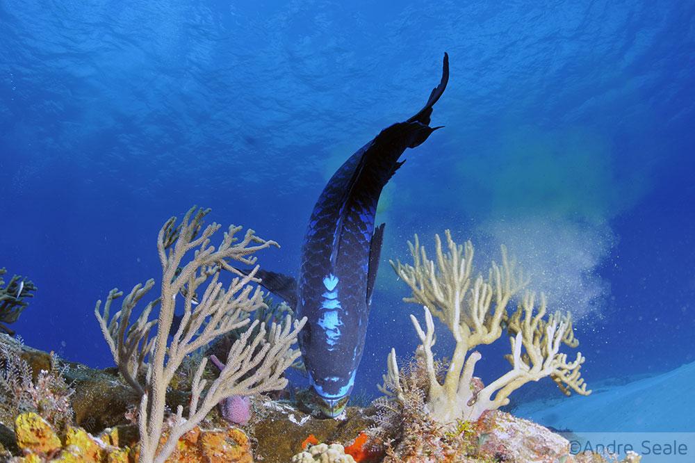 Peixe-papagaio em corais - mergulho em Cozumel - México