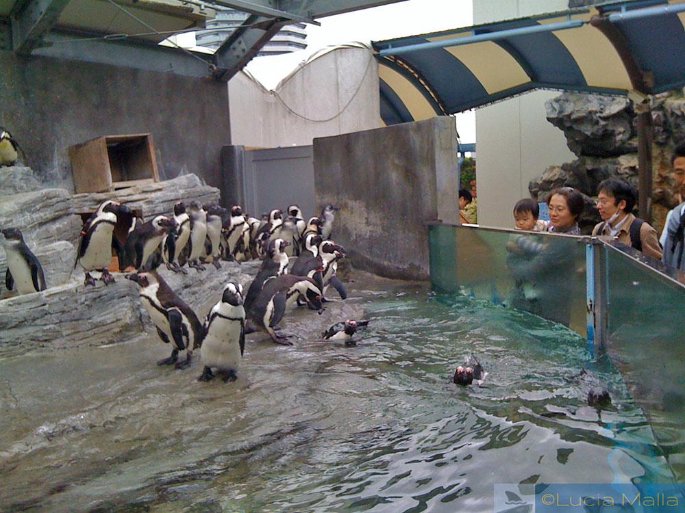 Pinguins de Magalhães em cativeiro - Ikebukuro - Tóquio