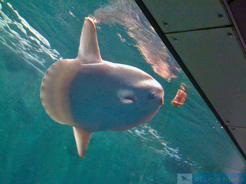 Peixe Mola-mola em cativeiro