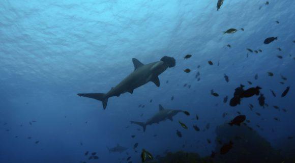 Foi: Semana Nacional de Preservação dos Tubarões