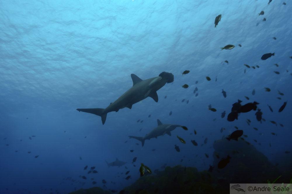 Foi: Semana de Preservação dos Tubarões