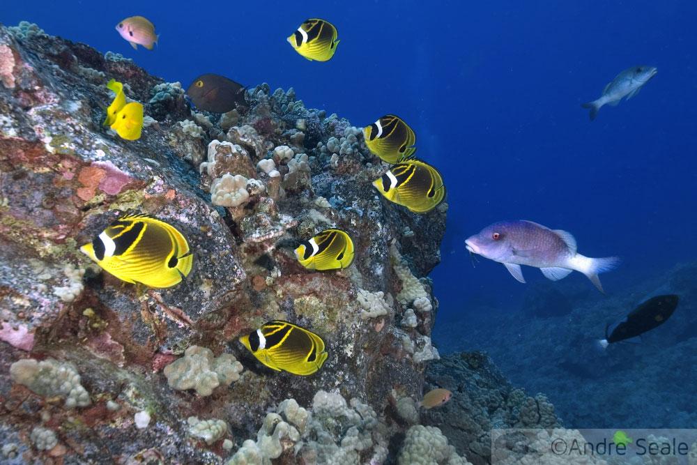 Peixes-borboletas num recife de coral do Havaí - homenagem aos haoles - Sexta Sub