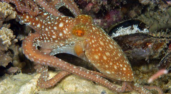 Sexta Sub: Friday Cephalopod