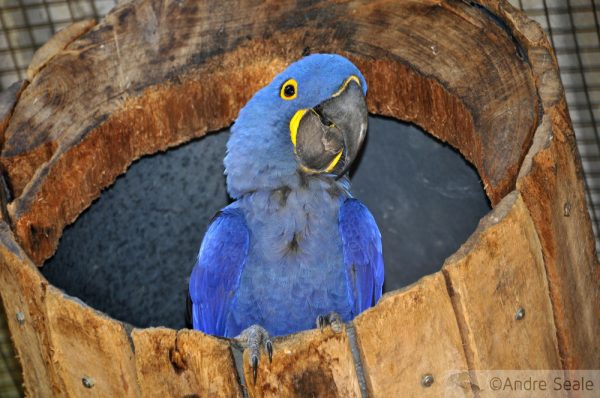 Arara Azul - Rio - Pixar