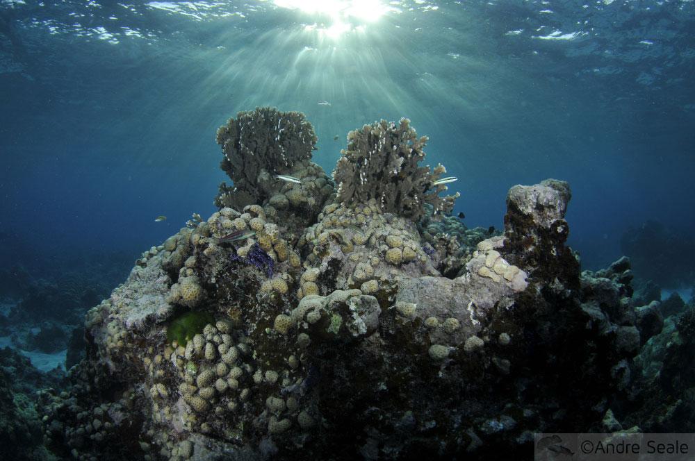 Black Coral - Pohnpei - Micronésia