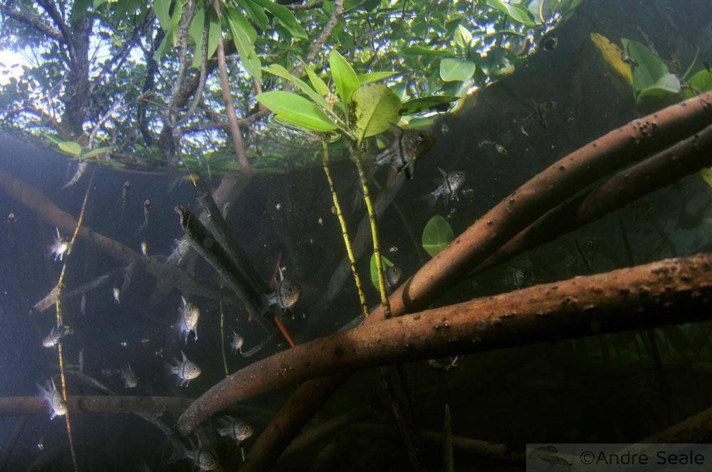 Peixe-cardeal no mangue