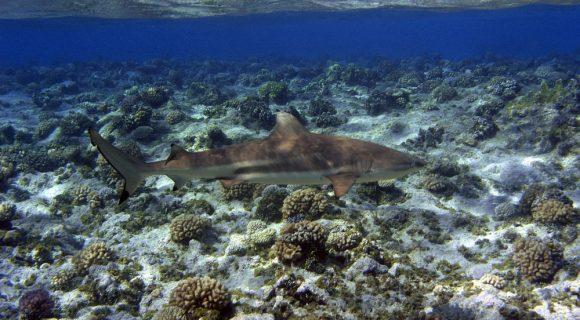 Tubarões protegidos na região Micronésia