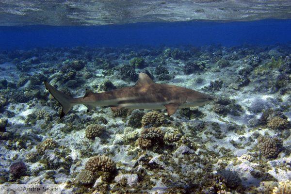 Tubarões protegidos na Micronésia