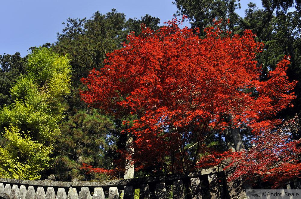 Árvore vermelha - Nikko - Japão