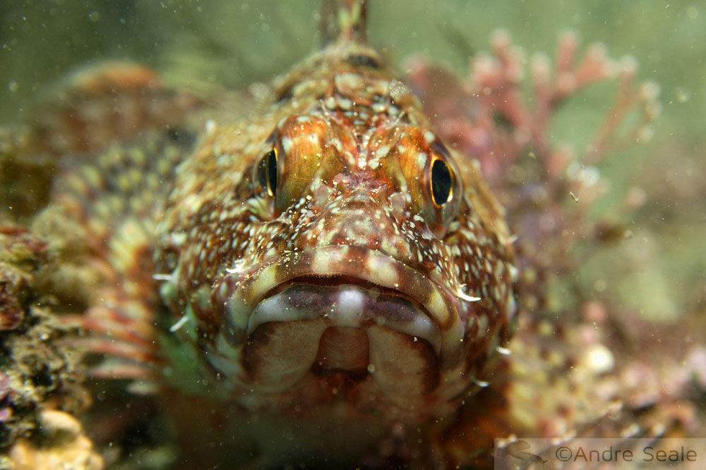 Mergulho em Jeju Island - Sogwipo - peixe-escorpião