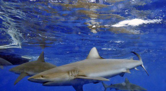 Sexta Sub: tubarão de Galápagos extinto