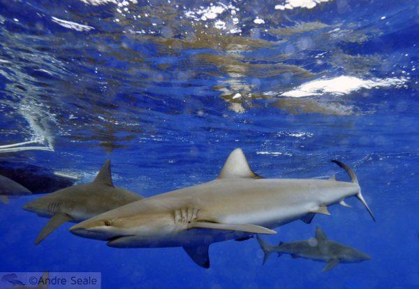 Tubarão de Galápagos extinto