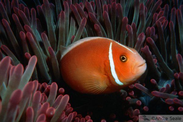 Nemo na anêmona - Grande Barreira de Corais Australiana