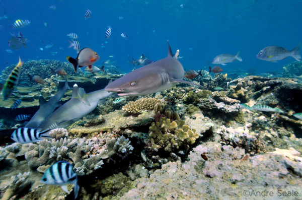 shark links