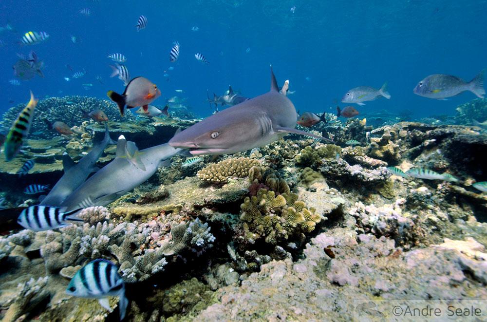shark links - tubarões em Beqa Lagoon - Fiji