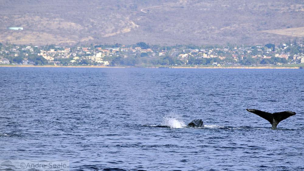 Rabo de baleia em Maui - Havaí
