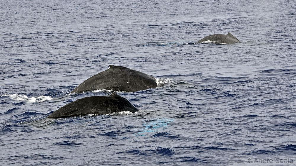 Avistagem de Baleias em Maui
