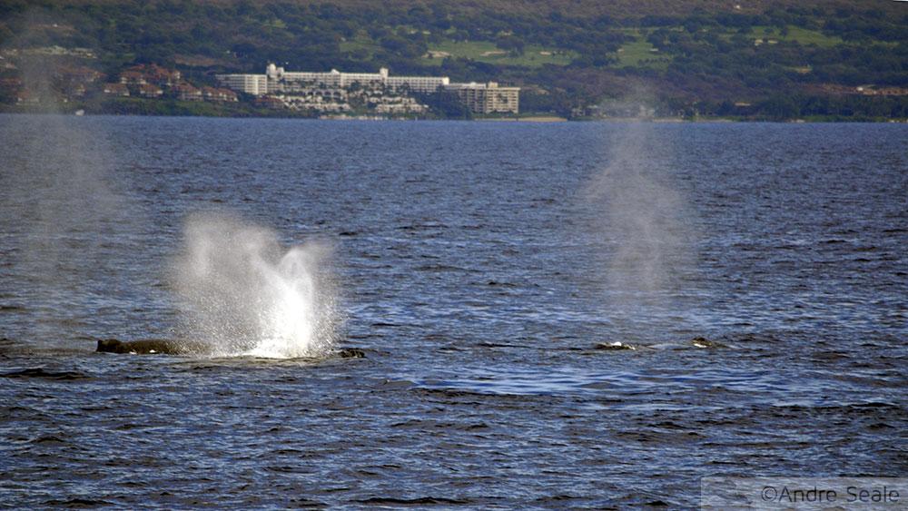 Avistagem do Respiro da baleia jubarte