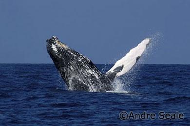 Uma tarde com as baleias jubartes de Maui