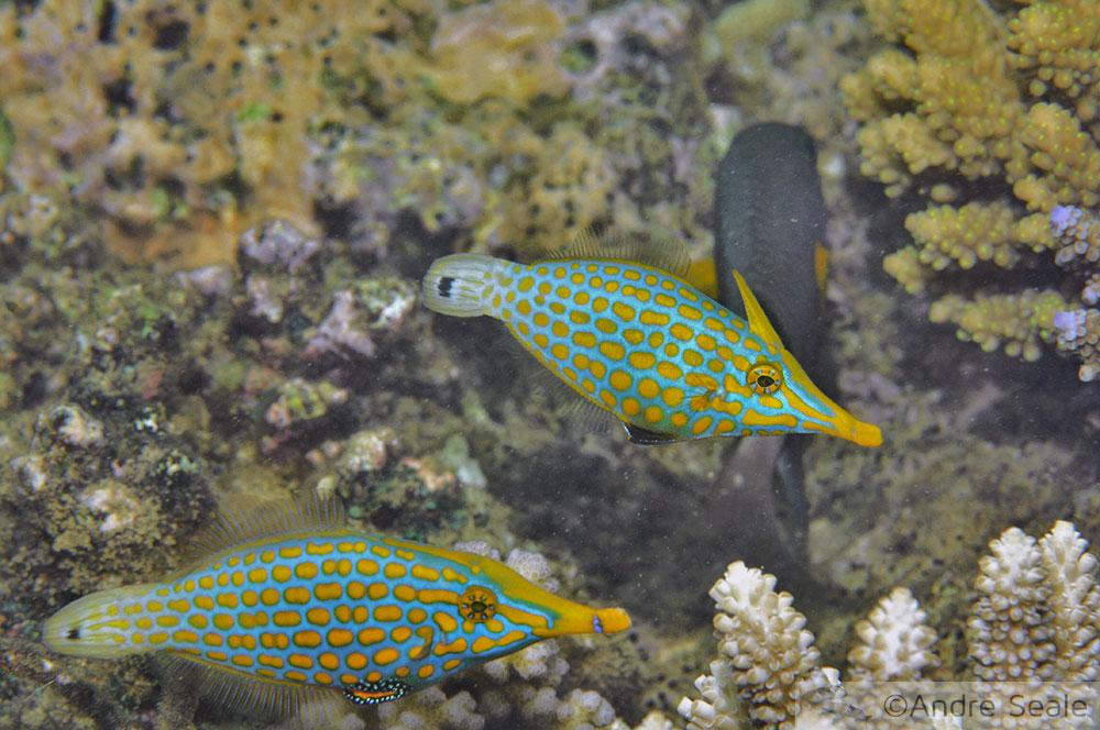 Snorkel na Ilot Tibarama - filefish - Poindimié - Nova Caledônia