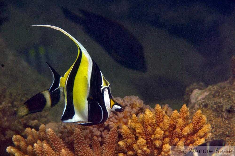 Snorkel na Ilot Tibarama - Nova Caledônia - peixe ídolo-mourisco