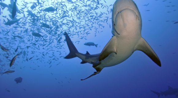 Sexta Sub: o melhor mergulho com tubarões do mundo