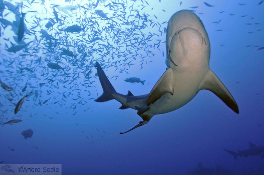 Melhor mergulho com tubarões do mundo - tubarão-touro - Beqa Lagoon - Fiji