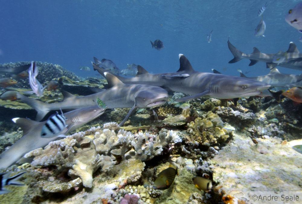Melhor mergulho com tubarões do mundo - tubarões galha-branca