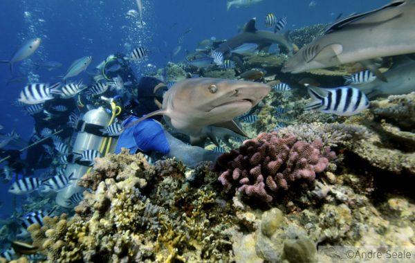 Melhor mergulho com tubarões do mundo
