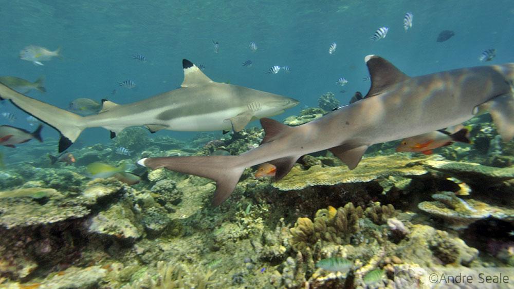 Tubarão galha-preta e galha-branca - Fiji