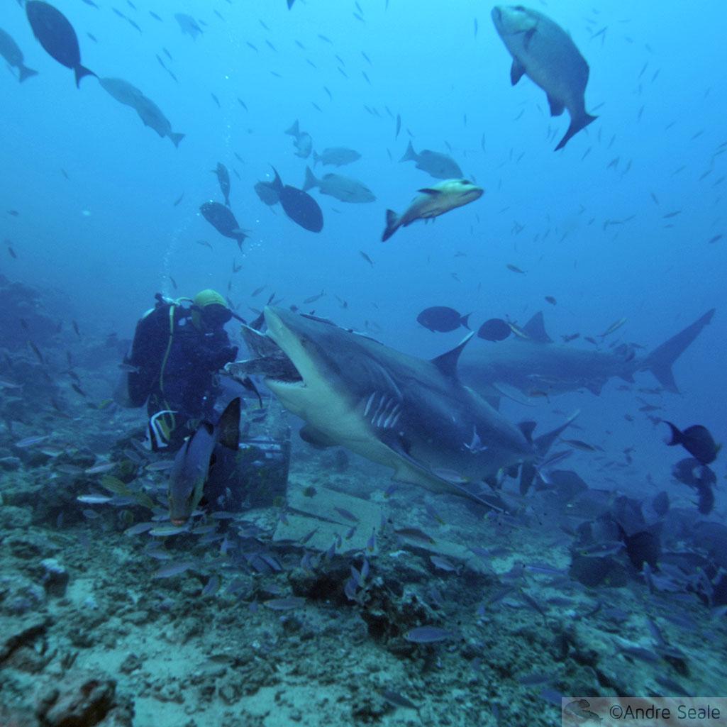Tubarão-touro - Beqa Lagoon - Fiji