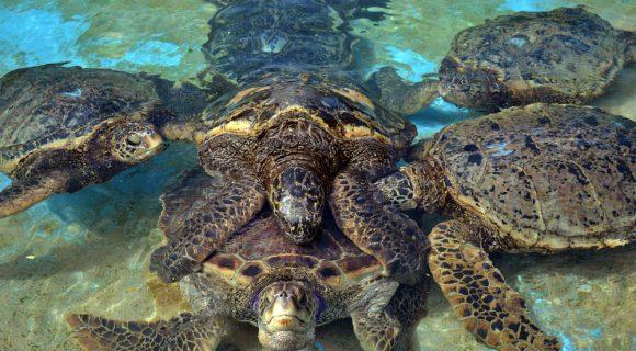 Sexta Sub: sexo animal – tartarugas marinhas