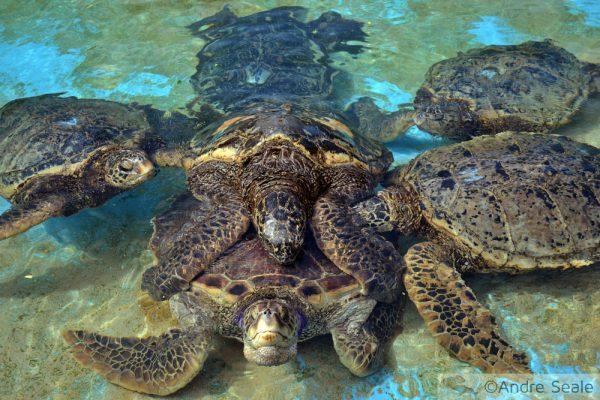 Sexo animal - tartarugas marinhas