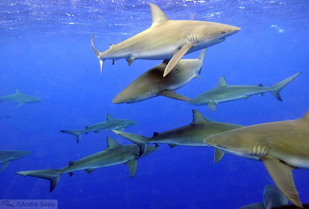 Havaí na Mergulho - tubarão de Galápagos