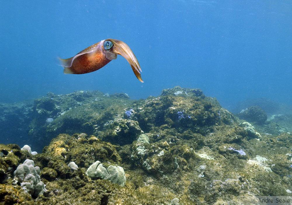 Havaí mergulho - Lula nos Three Tables
