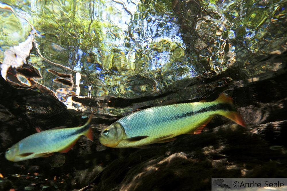 Sam ' choice - peixe em Bonito MS