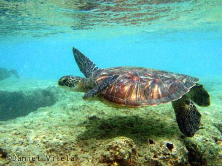 Viagem ao Havaí - tartaruga marinha