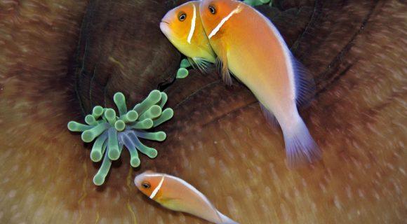 Sexta Sub: Nemos de Pohnpei