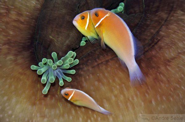 Nemos de Pohnpei