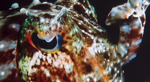 Sexta Sub: o olho da sépia