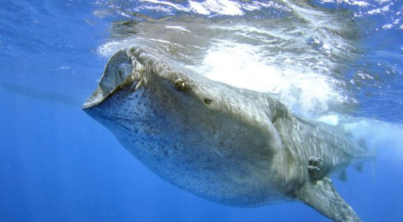Sexta Sub: a saga para transportar um tubarão-baleia