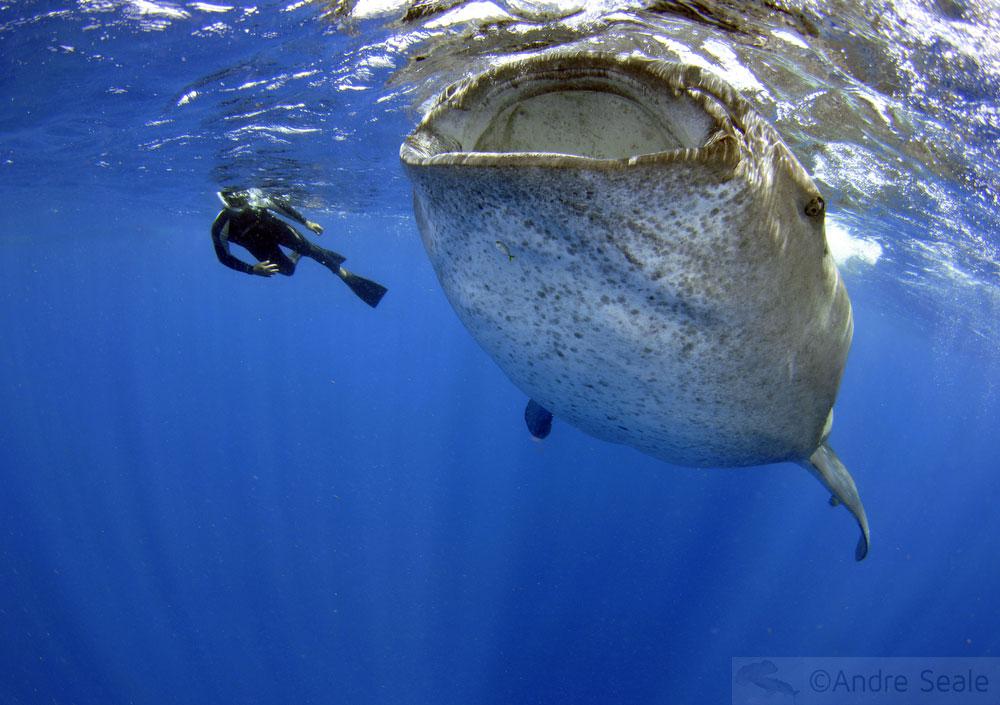 Tubarão-baleia e mergulhador