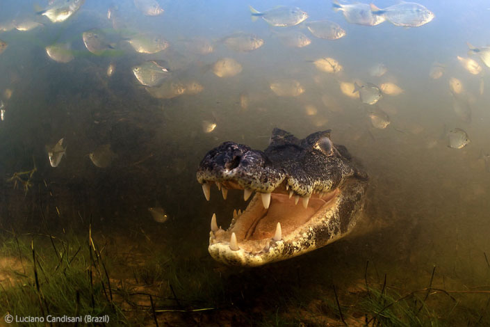 Into the mouth of a caiman - Luciano Candisani - Wildlife Photographer of the Year 2012
