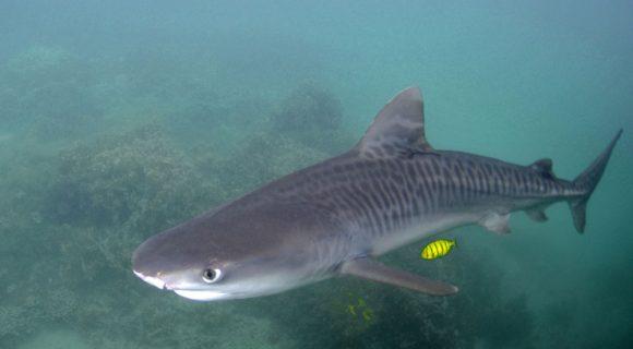 Sexta Sub: tubarão-tigre
