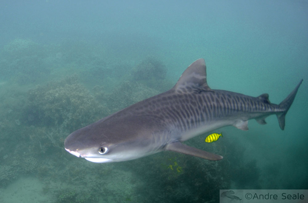 tubarão-tigre fêmea