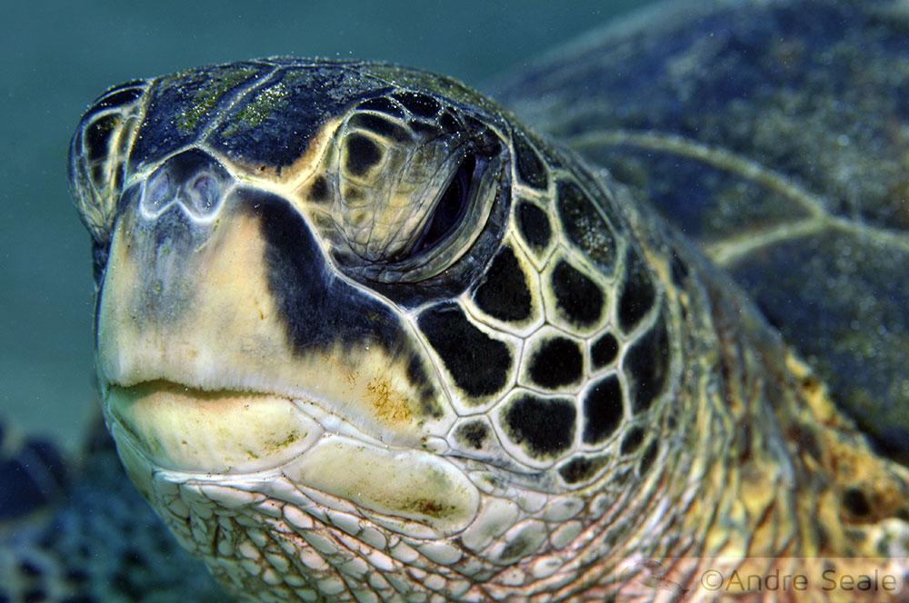 Tartaruga verde - Mala Píer - Mergulho em Maui